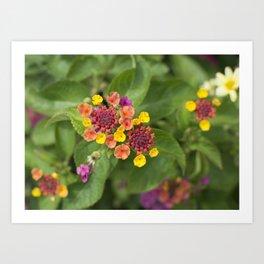 Lantana Camara Flowers Art Print