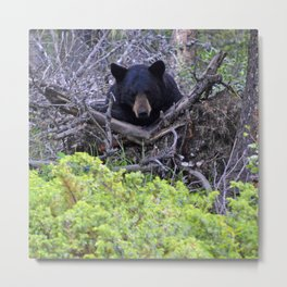 Momma bear in Jasper National Park, Canada Metal Print