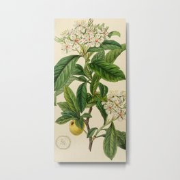 Edwards' botanical register 1836 Metal Print