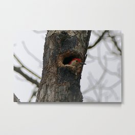 Red bellied woodpecker peeking Metal Print