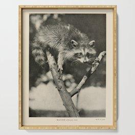 Vintage Animal Print - 1904 - Raccoon Serving Tray