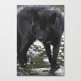 River wolf Canvas Print