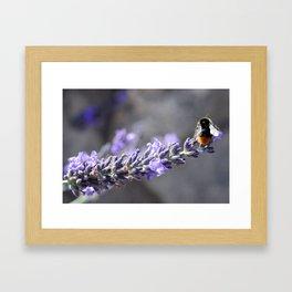 Honey Bee on Lavender Flowers Framed Art Print