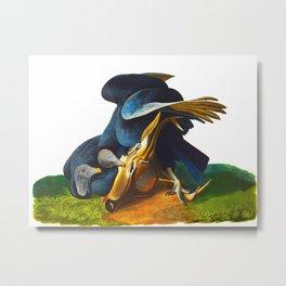 Black Vulture or Carrion Crow Eating a Dead Deer Metal Print