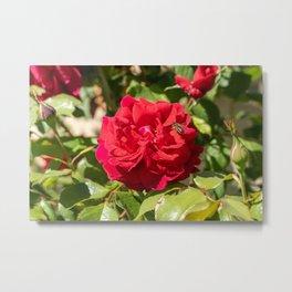 bee on rose Metal Print