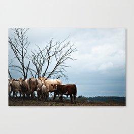 Roadside Cows Canvas Print