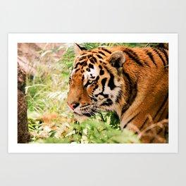 golden eyed tiger Art Print