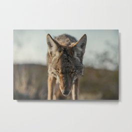 Scarred Coyote Metal Print