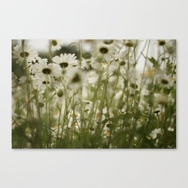 white daisies :) Canvas Print
