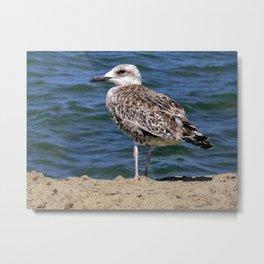 Herring gulls Metal Print