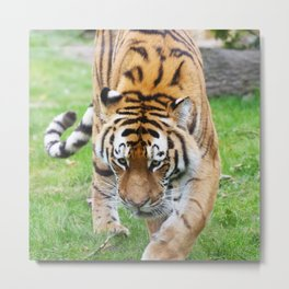 Tiger_20180802_by_JAMFoto Metal Print