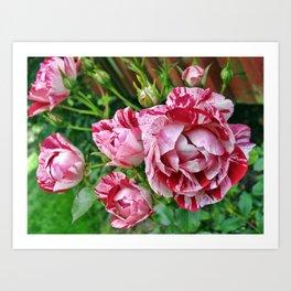Striped Red Rose Art Print