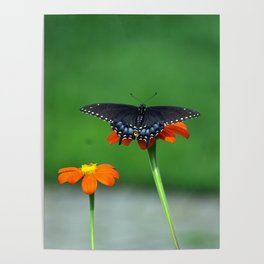 Black Swallowtail Butterfly on Mexican Sunflower Poster