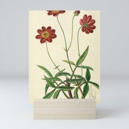 Flower 015 cosmus scabiosoides Scabious like Cosmus22 Mini Art Print