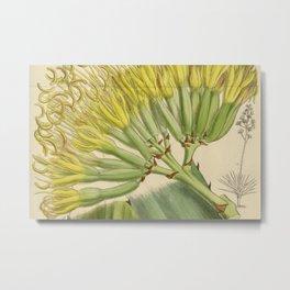Agave fourcroydes, Asparagaceae, Agavoideae Metal Print
