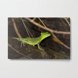 Emerald Basilisk Lizard in Tortuguero Metal Print