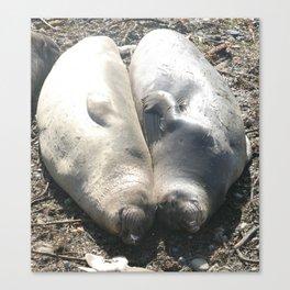 seal love Canvas Print