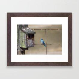 Mountain Bluebird at Home Framed Art Print