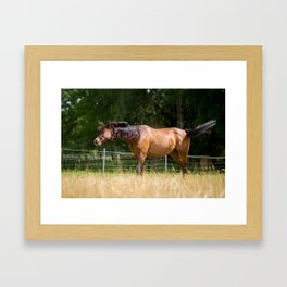 Royal class of horses, an Arabian thoroughbred Framed Art Print