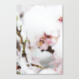 Almond tree flowers covered by snow Canvas Print