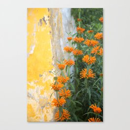 Lion's Tail and Yellow Wall, Óbidos, Portugal Canvas Print