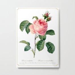 Rosa centifolia Metal Print