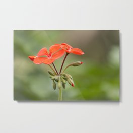 Scarlet Pelargonium Metal Print