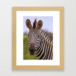 Zebra portrait, Africa wildlife Framed Art Print
