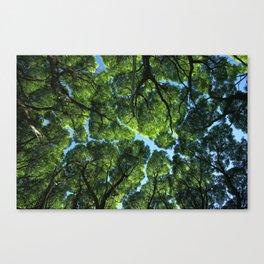 Crack willow ( salix fragilis ) crone. Canvas Print
