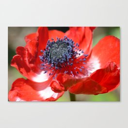 Red Anemone Flower  Canvas Print