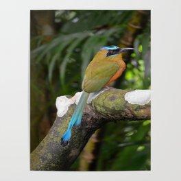 Motmot bird Poster