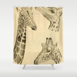 Vintage Illustration of a Giraffe (1908) Shower Curtain