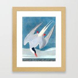 Arctic Tern James Audubon Vintage Scientific Illustration American Birds Framed Art Print