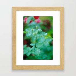 Dew Drops on Rose Bushes Framed Art Print