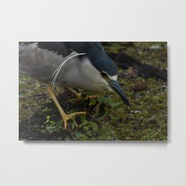 Night Heron in the Slough Metal Print