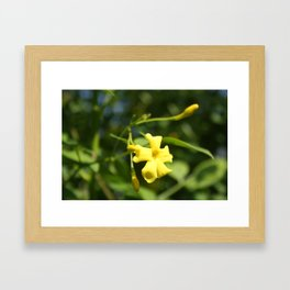 Carolina Jasmine Single Bloom In Sunlight Framed Art Print