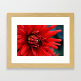 Fire red dahlia Framed Art Print
