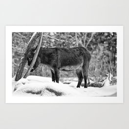 Put a donkey through the eye of a needle-Faire passer un âne par le chas d'une aiguille (bw Art Print