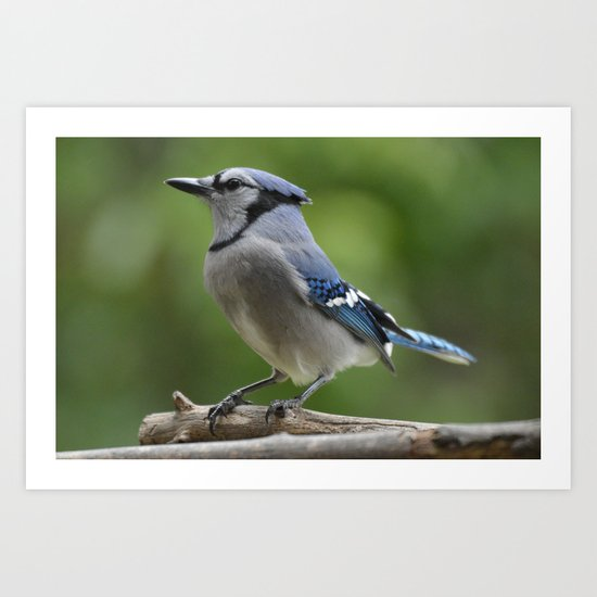 A Northern Blue Jay Art Print