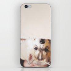 siberian husky puppy -