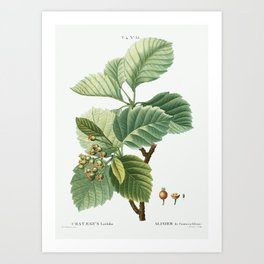 Broad-leaved whitebeam (Crataegus latifolia) from Traité des Arbres et Arbustes que l'on cultive en Art Print