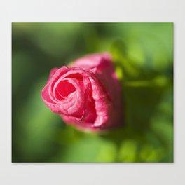 Cheddar Pink Dianthus Canvas Print