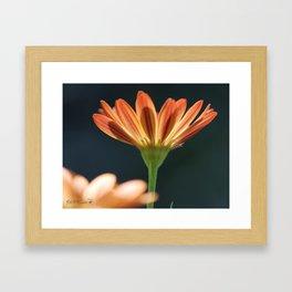 Osteospermum named Sunadora Palermo Framed Art Print