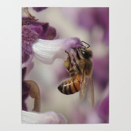Worker Bee on Mexican Sage Poster