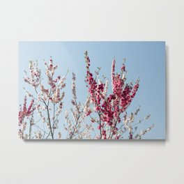 Japanese cherry blossom branches Metal Print