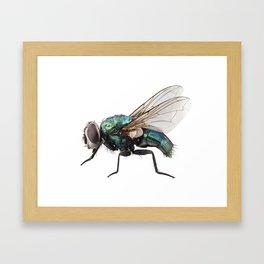 Blow fly species Lucilia caesar Framed Art Print