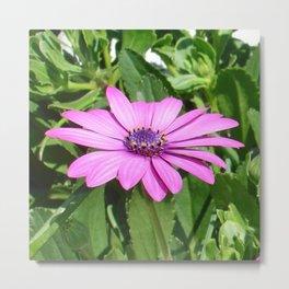 Purple Osteospermum Against Green Leaves Metal Print
