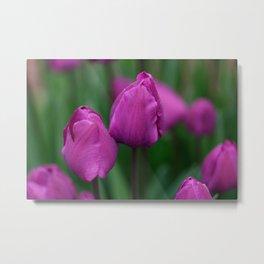 Sensual tulips Metal Print