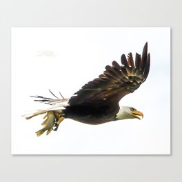Bald eagle with a crappie Canvas Print