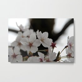 Sakura blossoms up close Metal Print